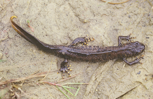 Press release: Newt conservation and sustainable development in Norfolk and Suffolk