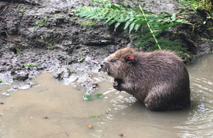 Beavers arrive in the Forest of Dean