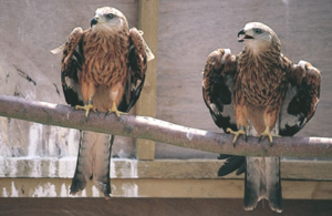 Press release: 30 year anniversary of landmark release of red kites in the Chiltern Hills