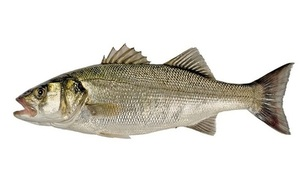Marine Management Organisation (MMO) issue authorisations to catch bass