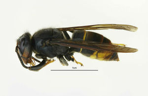Asian hornet: Fowey nest destroyed as two new sightings confirmed in Liskeard and Hull