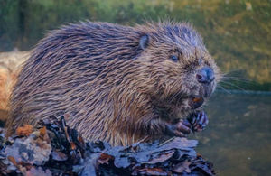 Environment Secretary backs release of Beavers in Forest of Dean