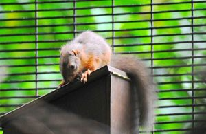 Baby red squirrels born on Ballykinler Training Area