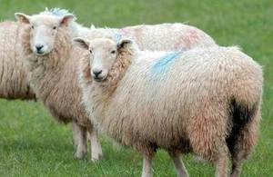 Bluetongue risk: farmers urged to remain vigilant